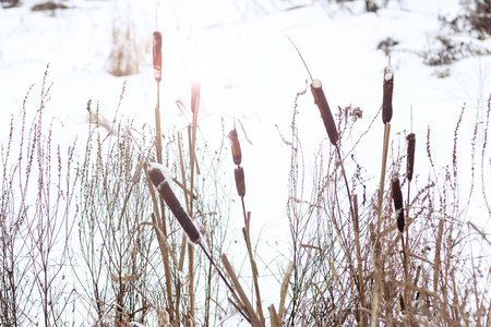 winter. The lake was covered with snow. the reed did not wait for the cold.