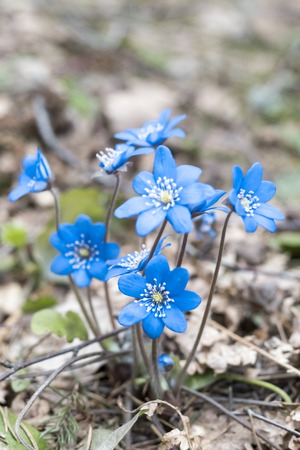 spring Flower. blue snowdrop in natural environment. shallow depth of cut. there is tinted.