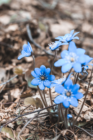 spring Flower. blue snowdrop in natural environment. shallow depth of cut. there is tinted