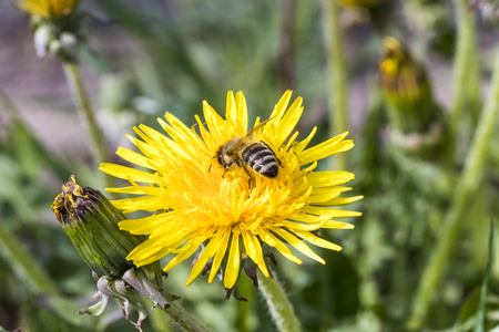daylight. bee closeup on dandelion. have toning. shallow depth of cut. Banco de Imagens