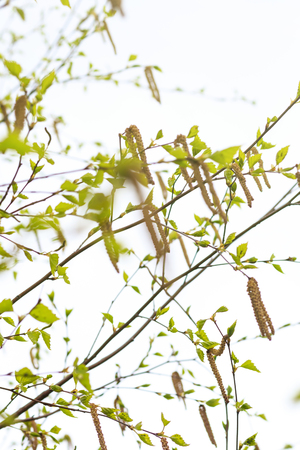 Spring. daylight. birch is just starting to blossom. there are earrings