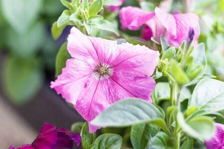home flowers. petunia. natural lighting. have toning close-up