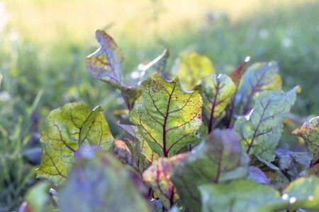 daylight. red beets in the garden. eco product Archivio Fotografico