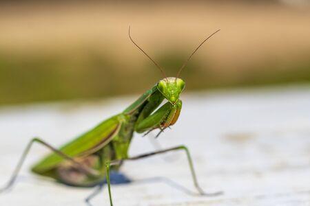 mantis. daylight. female. Shallow depth of field macro shooting