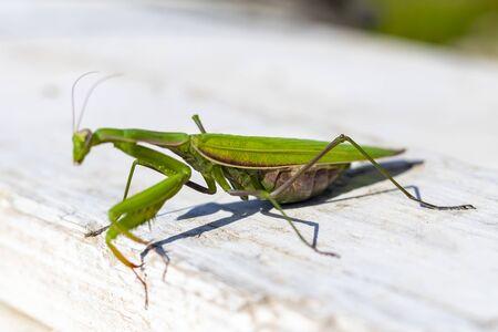mantis. daylight. female. Shallow depth of field. macro shot. focus on the stomach