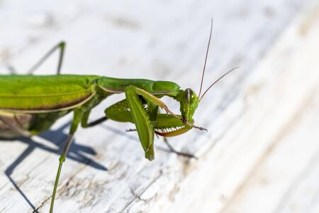 mantis. daylight. female. Shallow depth of field macro shooting