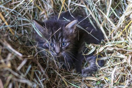 the countryside. in a straw a kitten of a gray color. shallow depth of field