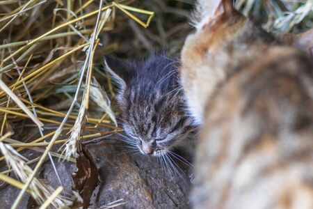 countryside. in a straw a kitten of a gray color. it washes a cat. shallow depth of field