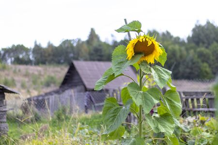one sunflower. in the background is a house made of wood. eco product. Banco de Imagens