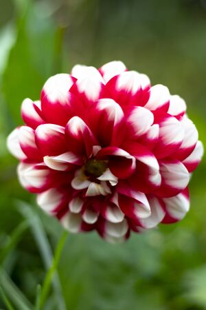 daylight. dahlia. shallow depth of field. red petals with white tips.
