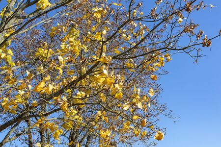 daylight. the sun is shining. Falling yellow maple foliage. Banco de Imagens