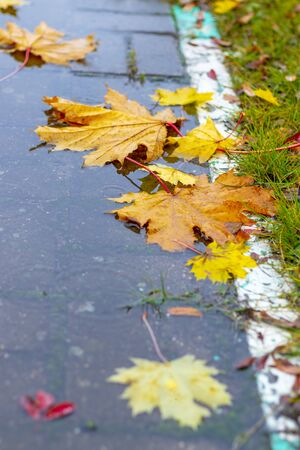 on the street. maple leaf lies in a puddle. its raining. autumn. a white stripe separates the sidewalk and the footpath