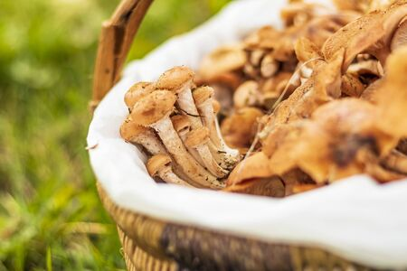 daylight. mushrooms. honey mushrooms. they are in the basket. small depth of field