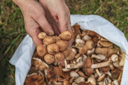 female hands of not young woman hold forest mushrooms over a basket. shallow depth of field Banco de Imagens