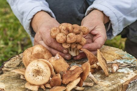female hands of not young woman hold forest mushrooms over a basket. shallow depth of field 版權商用圖片