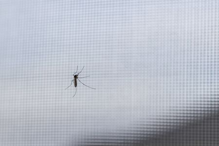 window in the house. On the glass sits a mosquito that drinks blood. close-up Banco de Imagens