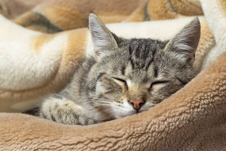 Domestic cat wrapped in a blanket and sleeps. Close-up. Only the face is visible