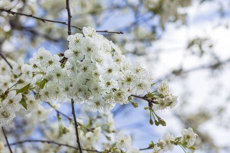 Street lighting. Cherry tree blossoms under a blue sky. Close-up.