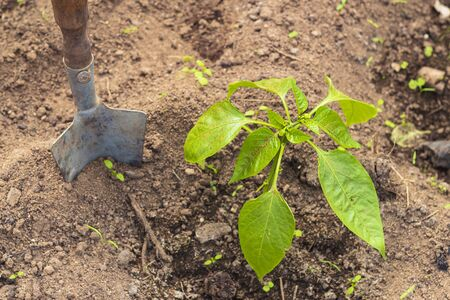 planting pepper sprouts in the ground. Near the shoulder blade for the garden. Close-up. Standard-Bild