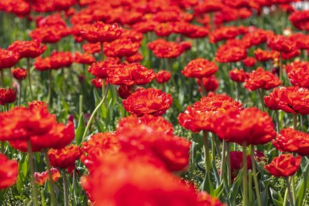 Daylight. Bright sun. Red tulips have blossomed. Red carpet.
