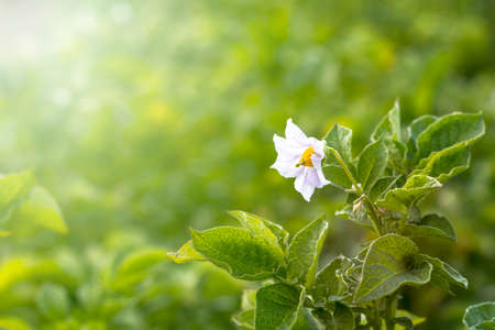 Daylight. potato flower. Close-up. Growing eco products. Without the use of chemistry Stock fotó
