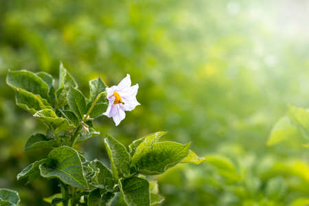 Daylight. potato flower. Close-up. Growing eco products. Without the use of chemistry Stock Photo