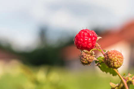 Daylight. raspberry bush on it is a red berry. ripened. Close-up. Stock Photo