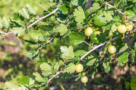 Daylight. gooseberry bush on it is a green berry. ripened. Close-up