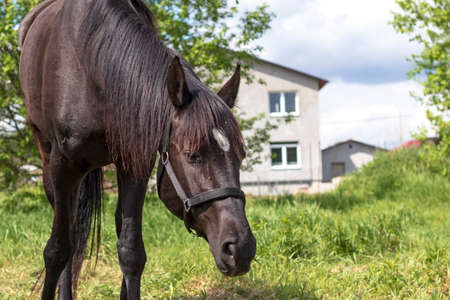 Daylight. black horse eating grass in the meadow. Close-up Stock Photo