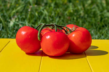 Daylight. The bright sun feeds red tomato on the branches. On a yellow background in retro style on a background of green grass Stock Photo