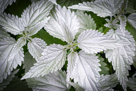 natural lighting of the frame. Wild, flower. The nettle is growing. The leaves are not of the usual color. Weed. Close-up