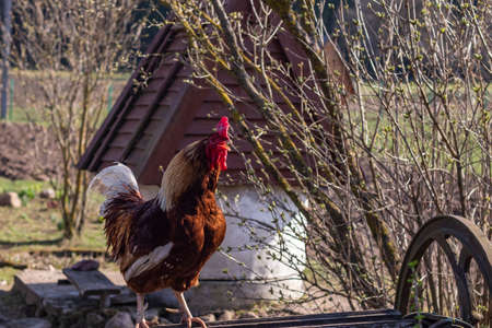 Street lighting. home farmstead. A bird walks and eats on it. Close-up. Rooster and chicken