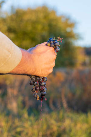 natural light. a human hand crushes a handful of blue grapes. shallow depth of field