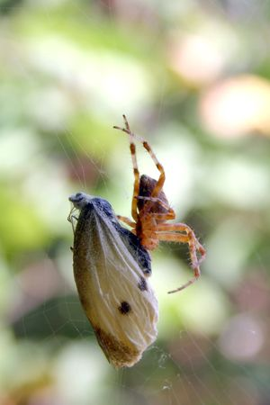 spider eats butterfly, background opened Stock Photo - 2650056