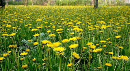 Many yellow dandelions on a green lawn Stock Photo - 2954139