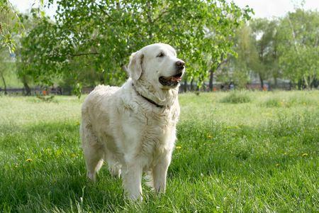 Dogs, golden retrievers on a green lawn Stock Photo