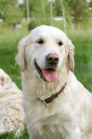 Dog, golden retriever on a green lawn Stock Photo
