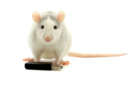 Rat and usb-flash on a white background photo