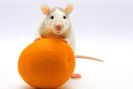 Rat with an orange on a light background