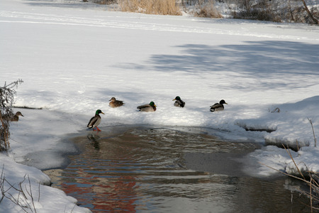 The ducks floating in a winter pond Stock Photo