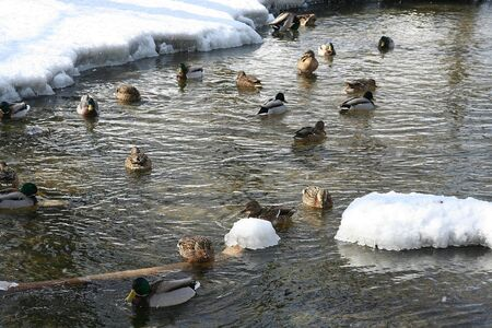 The ducks floating in a winter pond photo