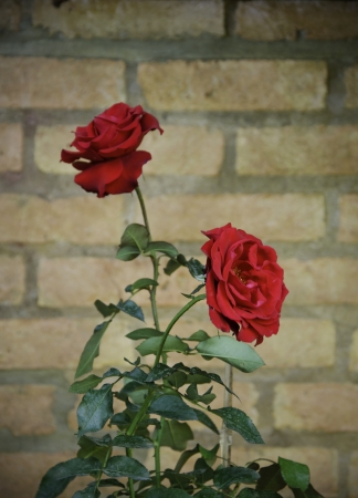 Red Rose flower against a brick wall Stock Photo - 17292360