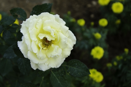 Close up of yellow rose flower blossom in flower garden Stock Photo - 17292351