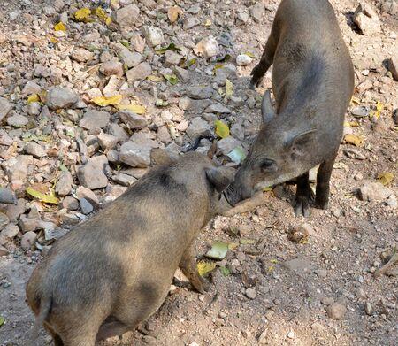 scrofa: Wild boar brothers (Sus scrofa)