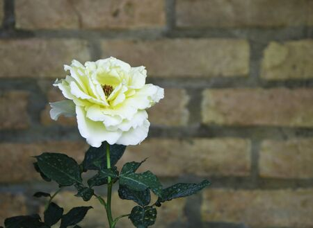 Close up of yelow rose flower against a brick wall  Stock Photo - 17423153