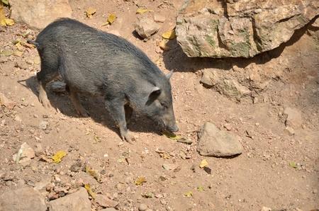 scrofa: Wild boar (Sus scrofa) in the wild