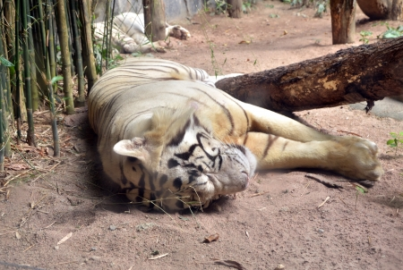 big white tiger lying on floor photo