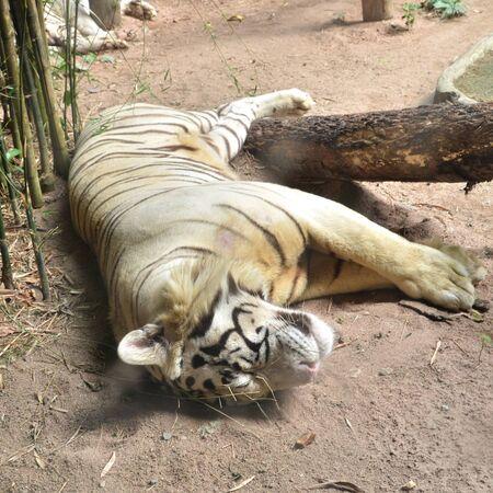 lying in: Big white tiger lying in zoo