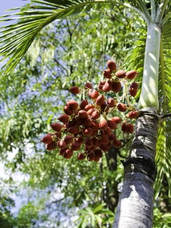 Ripe Betel Nut or Areca Nut Palm on Tree Stock Photo - 17526050