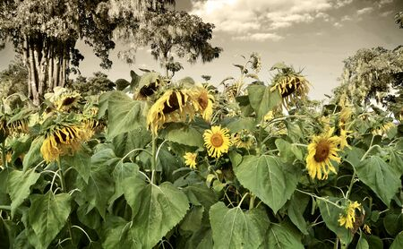 withering: Withering sunflowers in field, a desperate concept